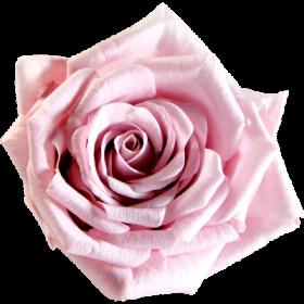 Světle růžová (BPI)